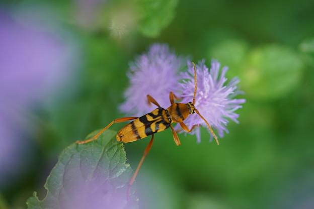 蜂とアゲラタム