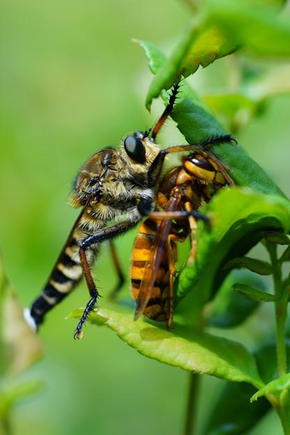 スズメバチ襲うアブ