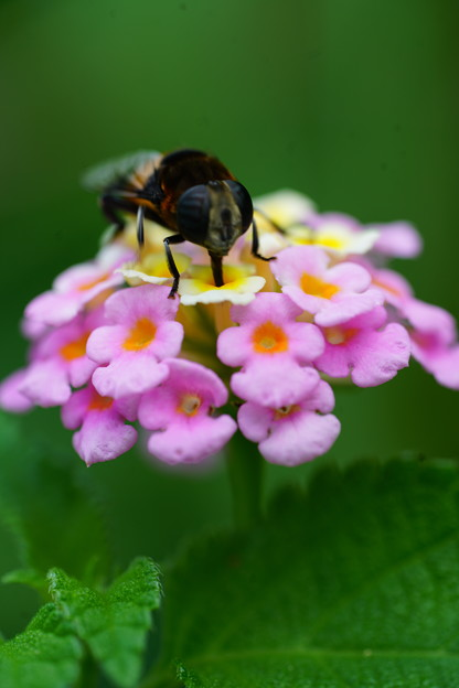 ランタナと蜂