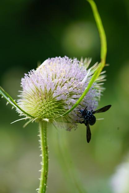 蜂とチーゼル