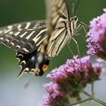 Photos: 花とアゲハチョウ