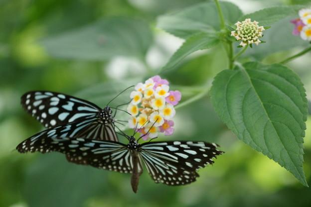 花とオオゴマダラ