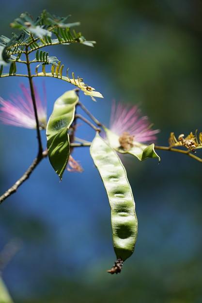 ネムノキの花と種