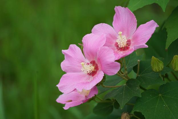 ピンクの芙蓉