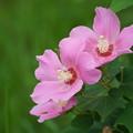 Photos: ピンクの芙蓉