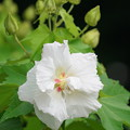 雨の日の芙蓉