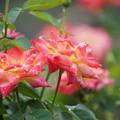 Photos: 雨の日のバラ
