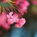 Photos: 夾竹桃