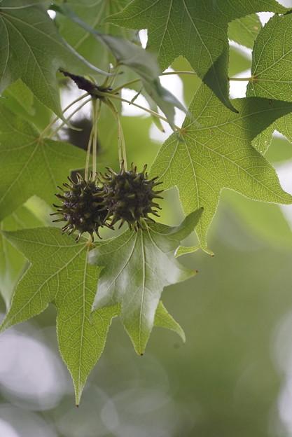 モミジバフウの種