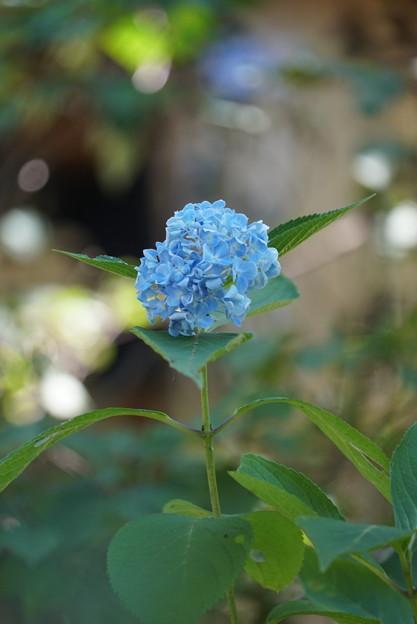 Photos: 夏の紫陽花