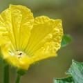 Photos: 瓜の花