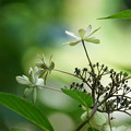 Photos: 真夏の紫陽花