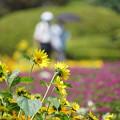 Photos: 向日葵