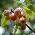 Photos: ヒメリンゴ