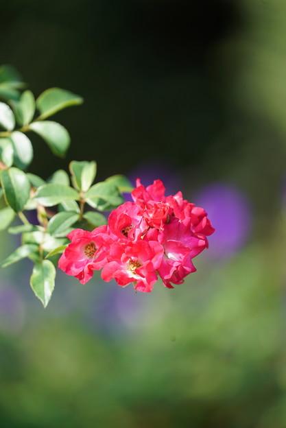 Photos: 赤いバラ
