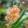Photos: ジンジャーの花