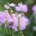 花トラノオ
