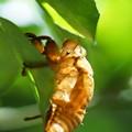 Photos: 蝉の抜け殻