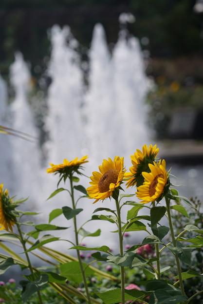 噴水と向日葵