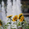 Photos: 噴水と向日葵