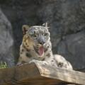 Photos: 雪豹