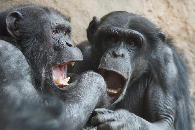 二匹のチンパンジー