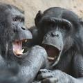 Photos: 二匹のチンパンジー