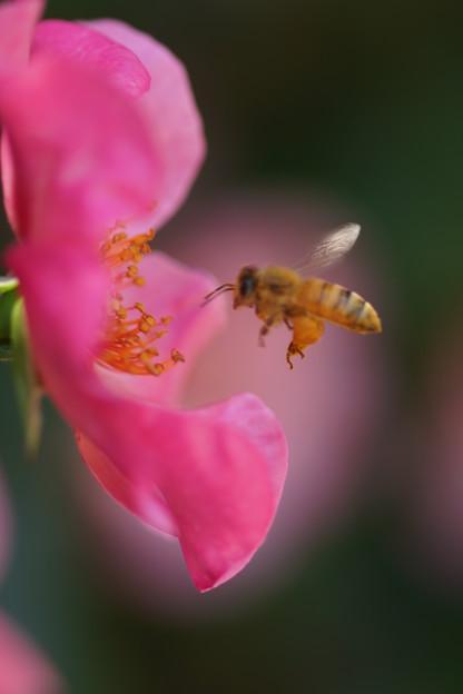 Photos: 薔薇とハチ