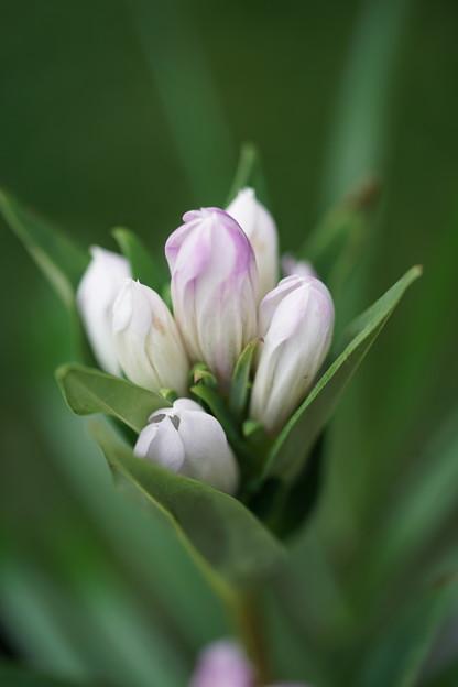 白いリンドウ