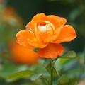 Photos: オレンジ色の薔薇
