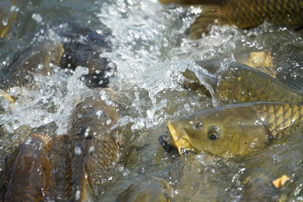 鯉の餌争奪戦