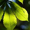 Photos: トチノキの葉
