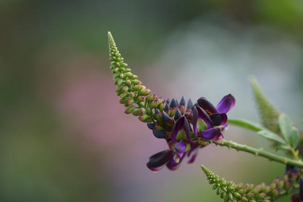 紫ナツフジ