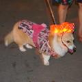 Photos: 浴衣着た犬