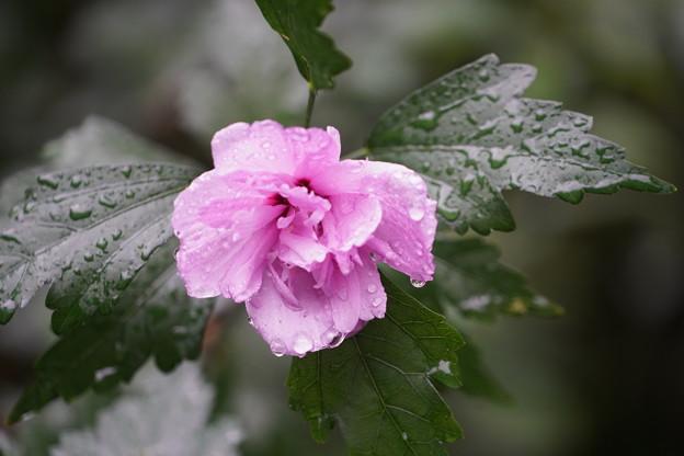 雨の日のムクゲ