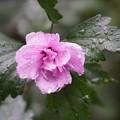 Photos: 雨の日のムクゲ