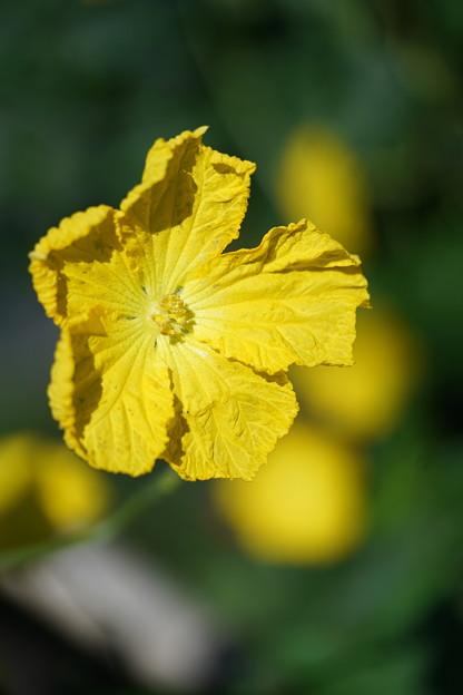 ヘチマの花