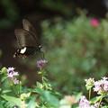 Photos: 花とモンキアゲハ