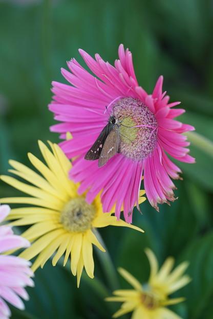 Photos: 蝶とガーベラ