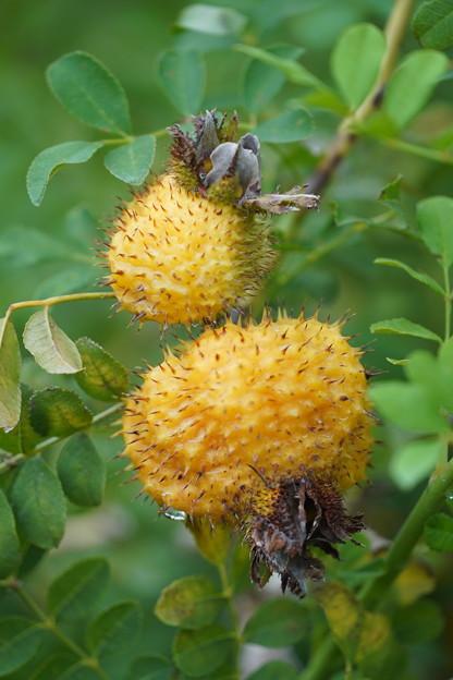イザヨイバラの種