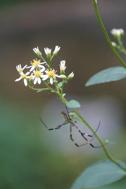蜘蛛とシラヤマギク