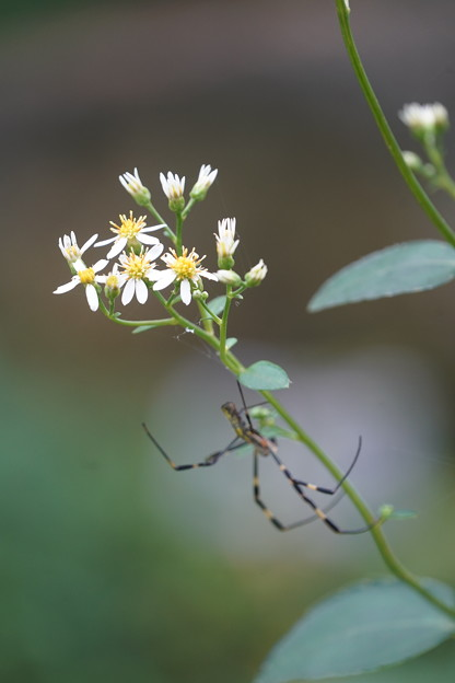 Photos: 蜘蛛とシラヤマギク