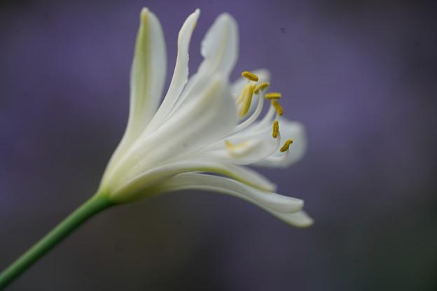 白いアガパンサス