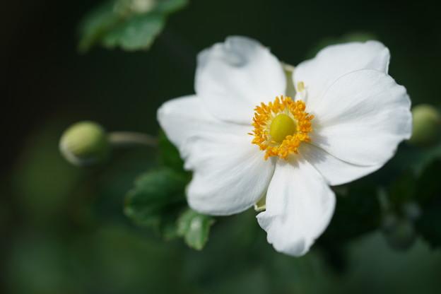 白い秋明菊