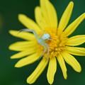 Photos: 花蜘蛛