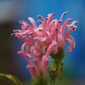 Photos: 珊瑚花
