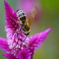 Photos: 鶏頭と蜂
