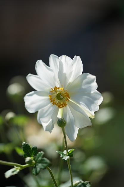 八重の秋明菊
