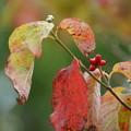 Photos: ハナミズキの葉と実