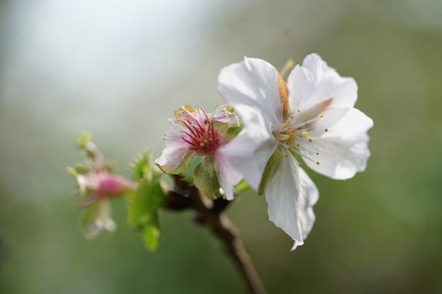 三波川の冬桜